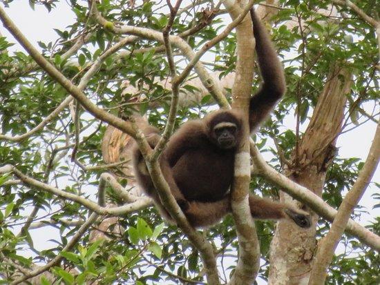 Sandakan Division, Malaysia: Gibbon