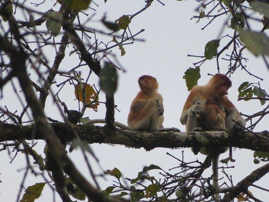 Sandakan Division, Malaysia: Proboscis monkeys