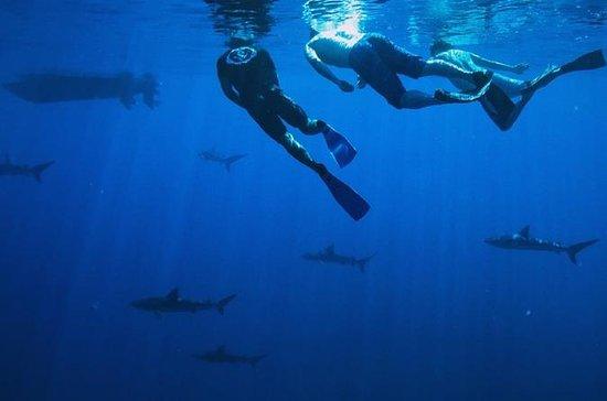 Pelagic Shark Dive Tour