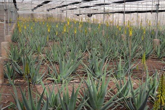 Arona, Hiszpania: Visita parte de nuestros cultivos ecológicos de Aloe Vera de Canarias