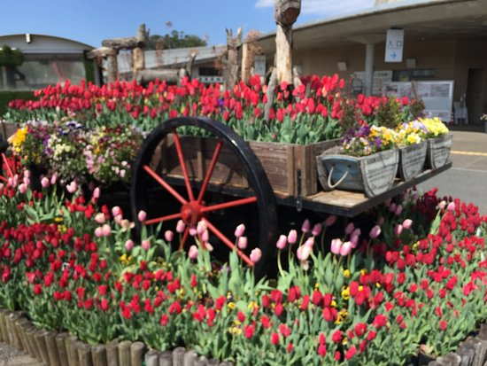 Nanbu-cho, Japan: Tulips in a wagon, outside paid area of park