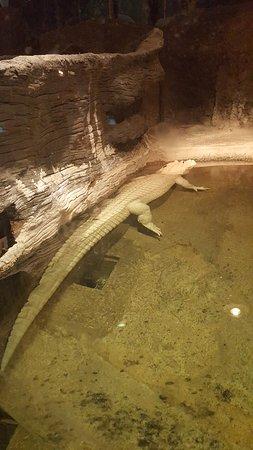 Audubon Zoo: White alligator