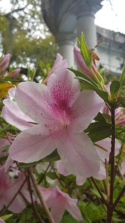 Audubon Zoo: beautiful azaleas