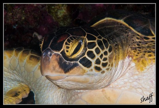 Bodufolhudhoo: Sleepy....Green Turtle