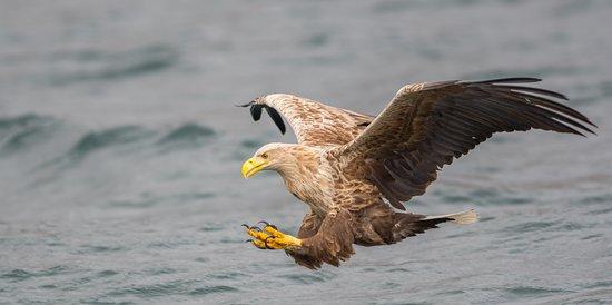 Salen, UK: White Tailed Eagle fishing !