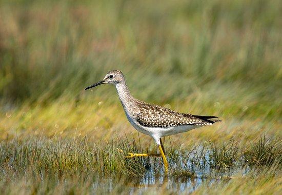 Rachel Carson National Wildlife Refuge: A lesser yellowlegs walking through a tidal marsh