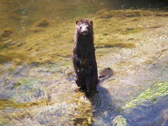 Rachel Carson National Wildlife Refuge: A mink