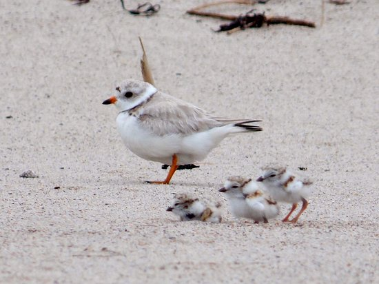 Rachel Carson National Wildlife Refuge: A piping plover mom and her chicks