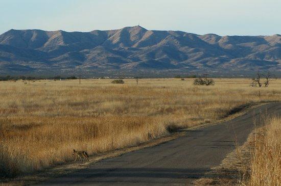 Arivaca, AZ: Coyote on Entrance Road