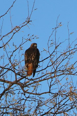 Arivaca, AZ: Hawk