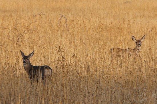 Arivaca, AZ: Mule Deer