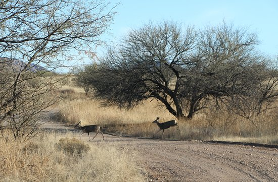 Arivaca, AZ: Mule Deer on Pronghorn Loop Drive