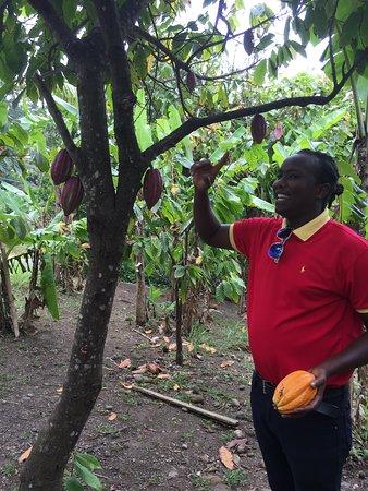 Belmont, Grenada: Cocoa trees