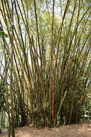 Saint Joseph Parish, Barbados: Huge bamboo trees
