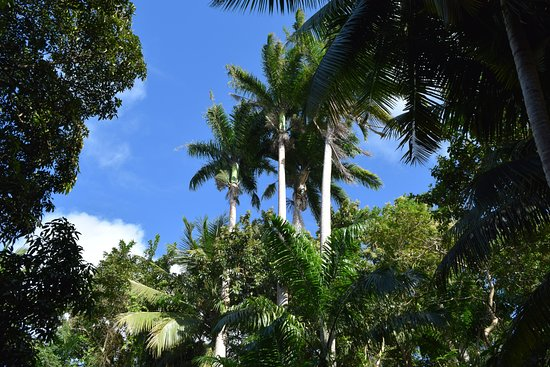 Saint Joseph Parish, Barbados: Tall palms