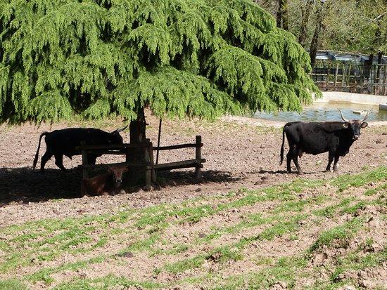 Thonac, France : Aurochs paisibles.