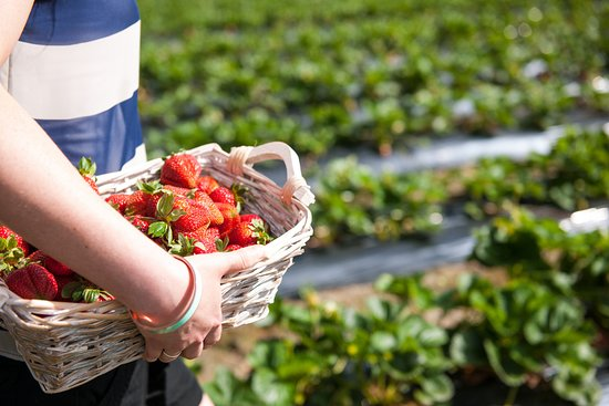 Adelaide Hills, Australia: Strawberry Picking, Beerenberg Farm, Hahndorf