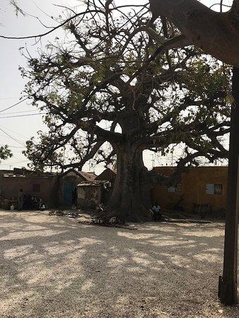 Joal Fadiouth, Senegal: Il grande baobab vicino alla chiesa, le cui radici paiono un coccodrillo.