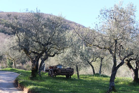 Giano dell'Umbria, Italy: The olive grove on the drive to the farmhouse.