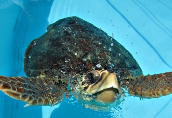 The Turtle Hospital : turtle at the hospital