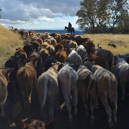 Parkfield, CA: Our Fall Cattle Drive on the V6 Ranch!