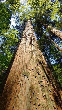 Nibunamizusawa Sugi Shokubutsu Gunraku Forest Reserve: 高すぎててっぺん見えません…。