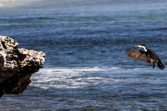 Cottesloe, Australia: Cormorant coming in for a landing on the rocks