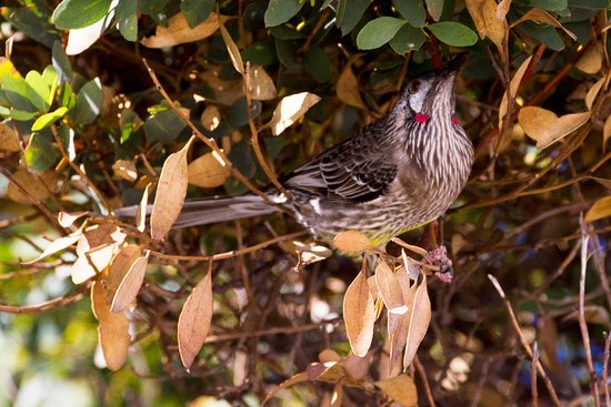 Cottesloe, Australia: Red wattlebird chasing insects in the bushes