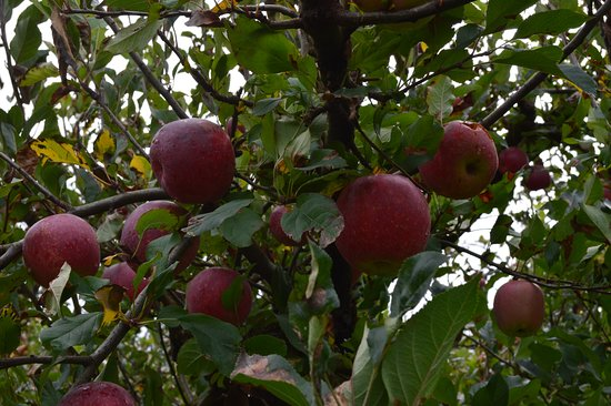 Coatesville, New Zealand: More apples