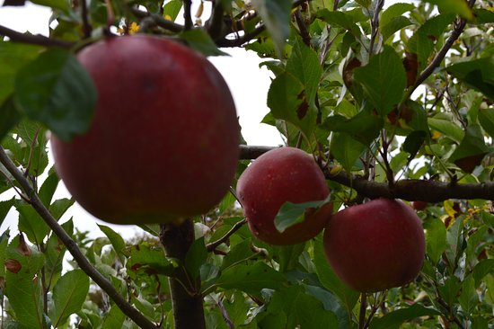 Coatesville, New Zealand: Big apples