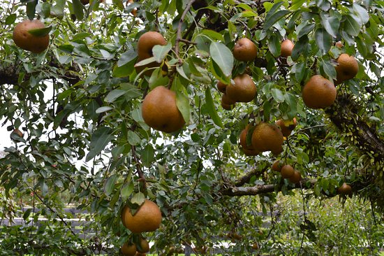 Coatesville, New Zealand: No partridge on a pear tree