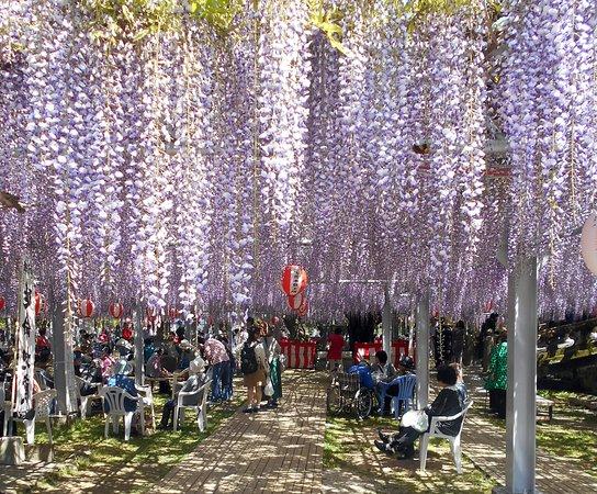 Yanagawa, Япония: 中山大藤まつり2018