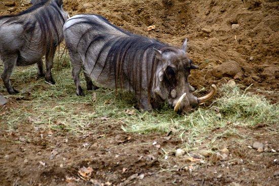 Southwick's Zoo: Wart hogs