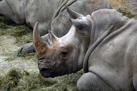 Mendon, MA: Rhinos