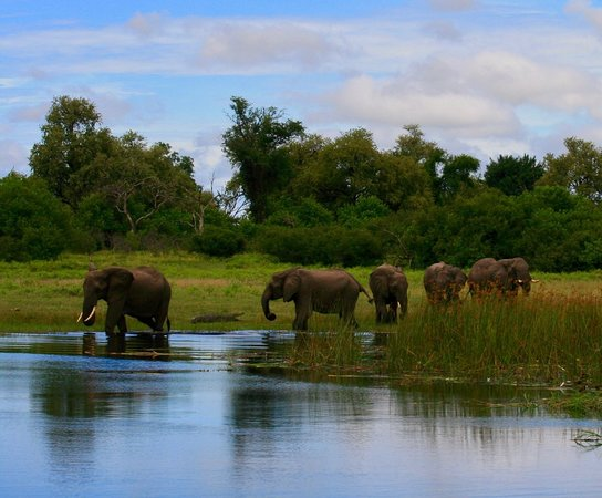 Linyanti Reserve, Botswana: Elephants entering channel with agitated croc in background