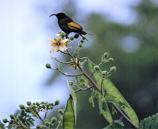 Lake Manyara National Park, Tanzania: Gold winged Sunbird - a first for Isoitok and 152 and counting on our bird list