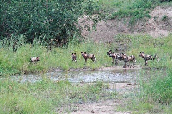 Singita Private Game Reserve, Afrika Selatan: Wild dogs