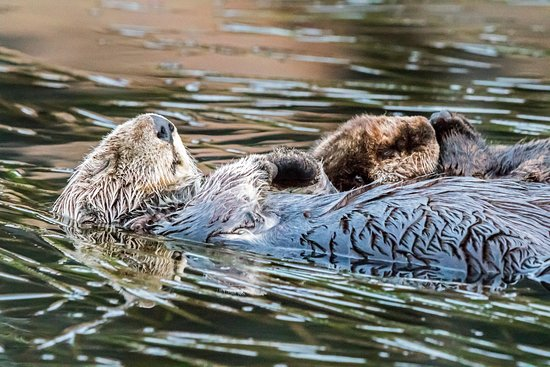 Best Western Tradewinds: Kelp bed close by with otters.