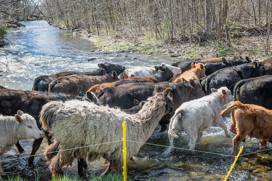 Sperryville, VA: fun to watch the cattle (and llama and donkey) crossing the river to a grassy field