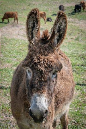 Sperryville, VA: sweet donkey--he let me pet him