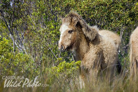 Beaufort, Caroline du Nord : This wooly little colt entertained us at Rachel Carson Reserve. Photo by Carolina Wild Photo.