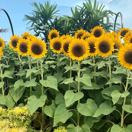 044454d4b62fc0 Sunflower Garden - Picture of Sunflower Garden, Singapore - TripAdvisor