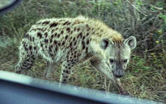 Addo Elephant National Park, Sudáfrica: A spotted hyena hungrily eyes us in our car