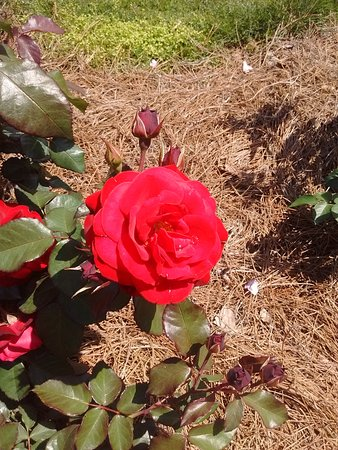 Theodore, AL: Roses in bloom in April