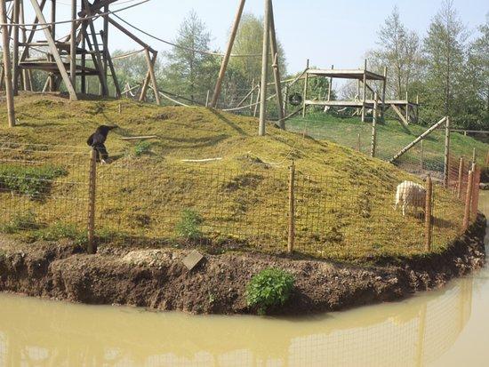 Vleteren, België: Eiland buiten verblijf gibbon aapjes ( zwart ) MET natuurlijk onderhoud door de schapen, prachti