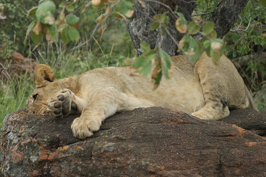 Welgevonden Game Reserve, South Africa: A male cub sleeping