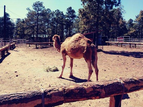 Уильямс, Аризона: camel