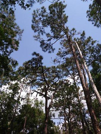 Tibet-Butler Preserve: Florida Pine Trees