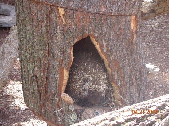 Norristown, Pensilvania: Porcupine