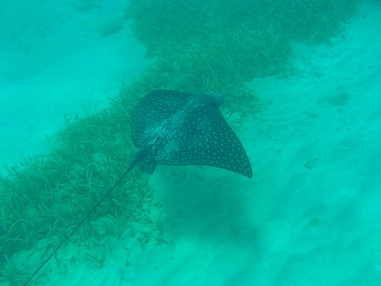 Oyster Pond, St Martin / St Maarten: Spotted Stingray